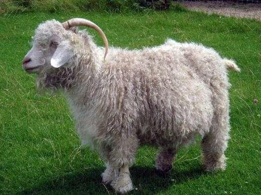 Советская шерстяная порода коз