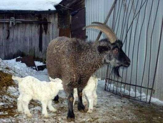 Придонская порода коз