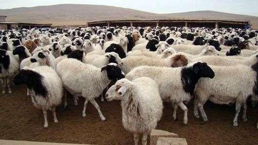 Тувинская порода овец