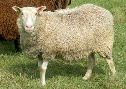 Порода овец «Финский ландрас»