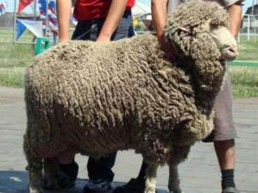 Кулундинская порода овец