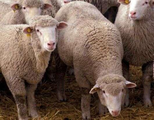 Агинская порода овец