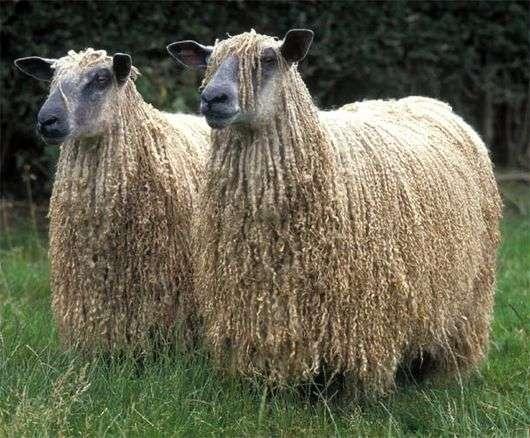 Русская длинношерстная порода овец
