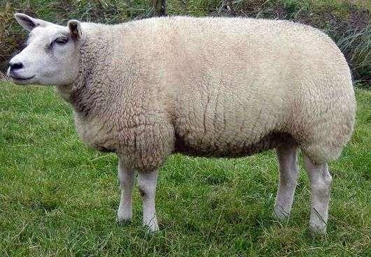 Порода овец «Тексель»
