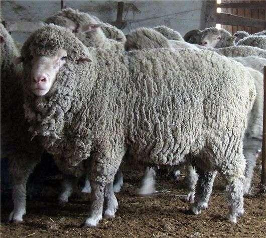 Порода овец «Прекос»