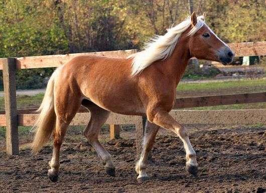 Порода лошадей «Хафлингер»