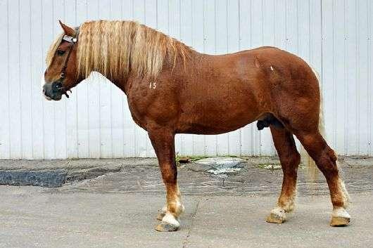 Советская тяжеловозная порода лошадей
