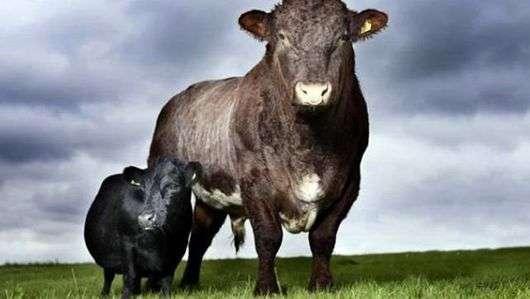Йоркширская порода коров