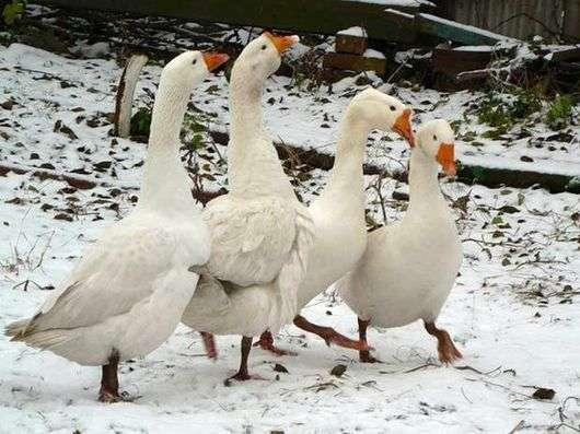 Как содержать гусей зимой?