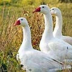 Венгерская порода гусей