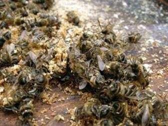 Лечение пчелиным подмором