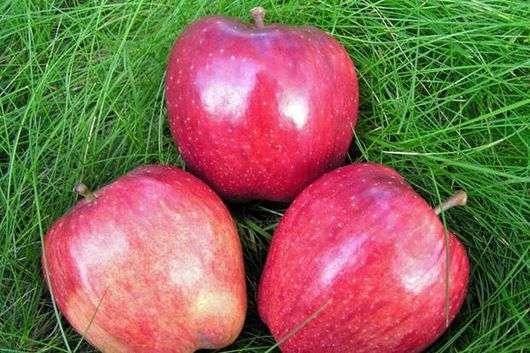 Сорт яблони «Ред Делишес»