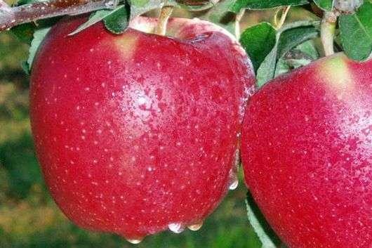 Сорт яблони «Старкримсон»