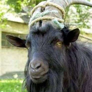 Кастрация козлов – способы и меры предосторожности
