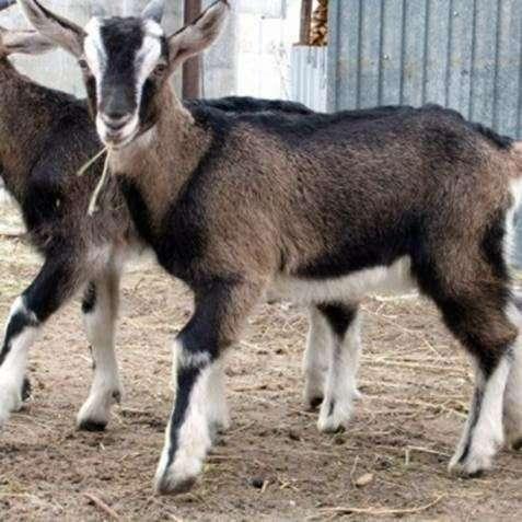 Как ухаживать за козами?