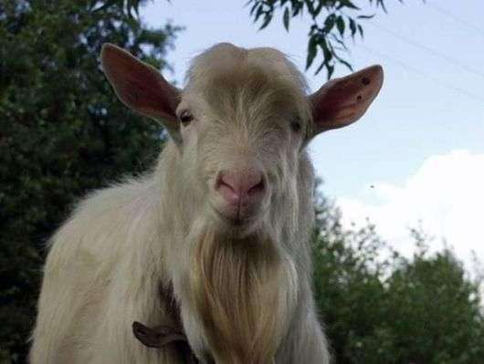 Как выбрать козу?
