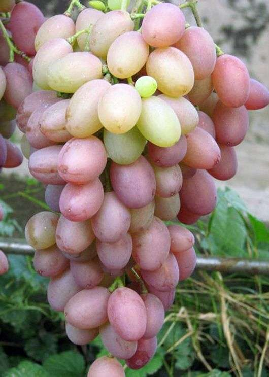 Сорт винограда «Виктор»
