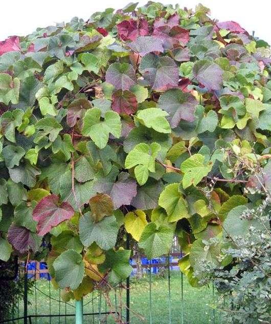 Сорт винограда «Амурский»