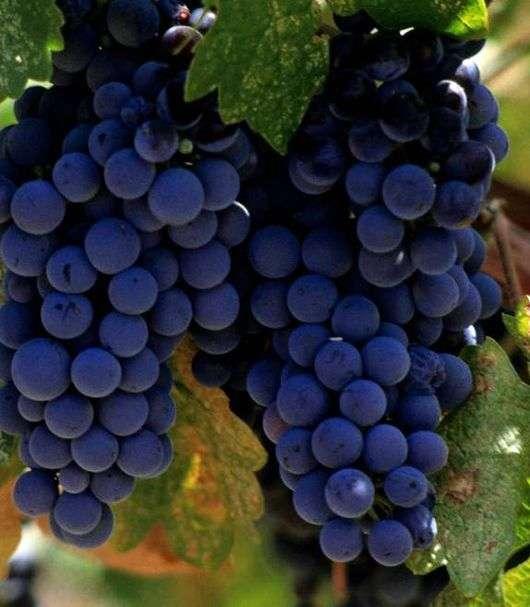 Сорт винограда «Изабелла»