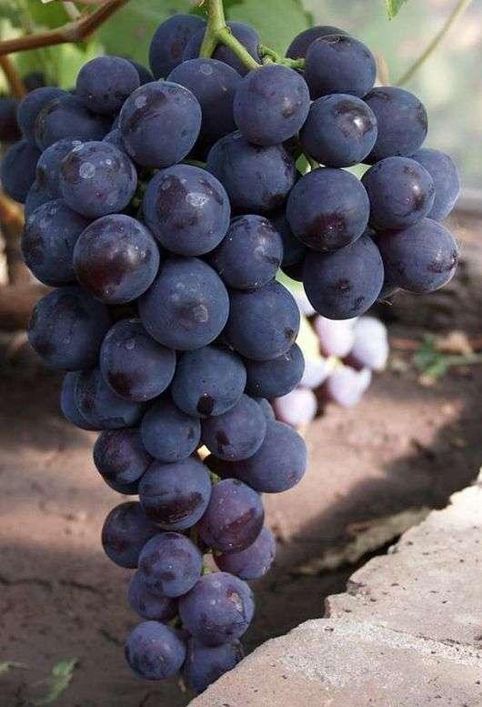 Сорт винограда «Кардинал»