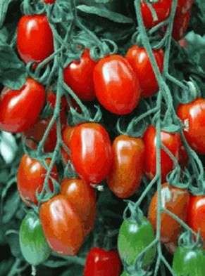 Сорт томатов «Каспар»