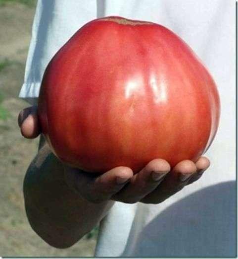 Сорт томатов «Орлиное сердце»