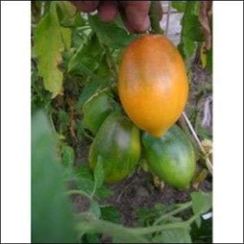 Сорт томатов «Кенигсберг»