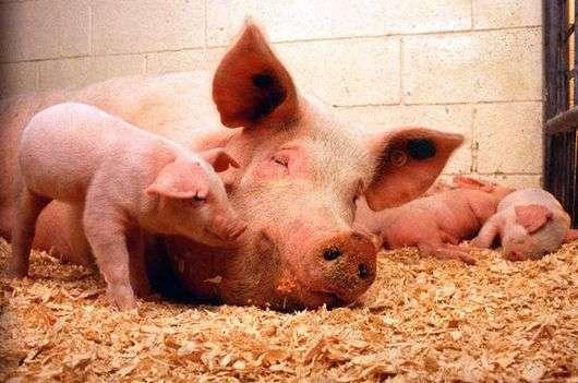 Как правильно кормить свиней