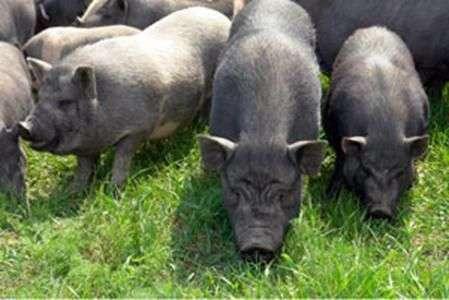 Крупная черная породы свиней