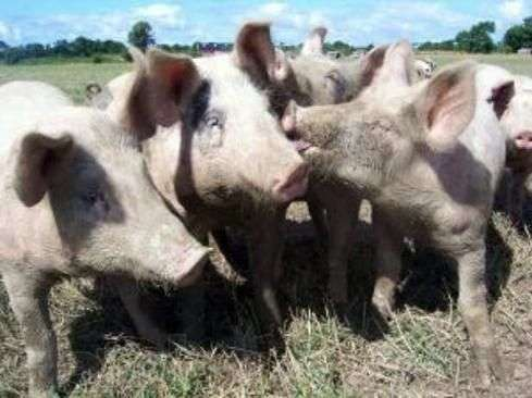 Быстрый откорм свиней