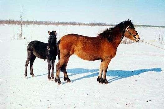 Мезенская порода лошадей