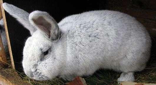 Кролики породы «Шампань»