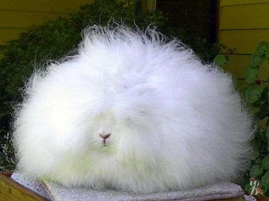 Ангорская порода кроликов