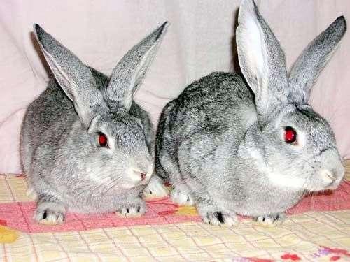 Кролики породы «Советская шиншилла»