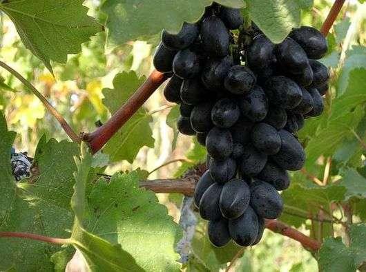 Сорт винограда «Кодрянка»