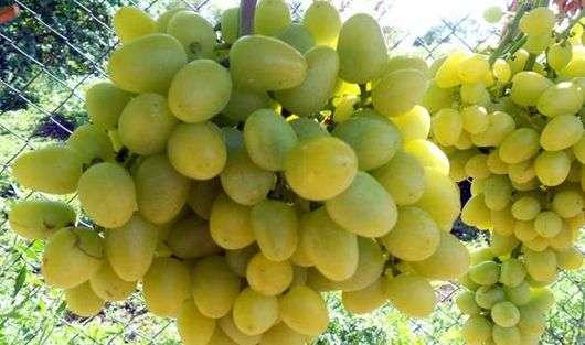 Сорт виноград «Аркадия»