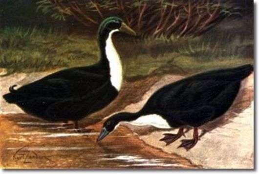 Черная белогрудая порода уток