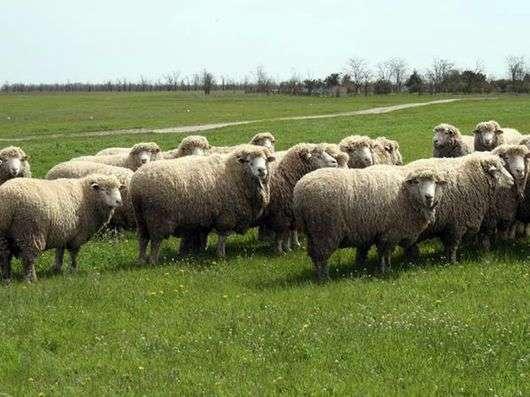 Волгоградская порода овец