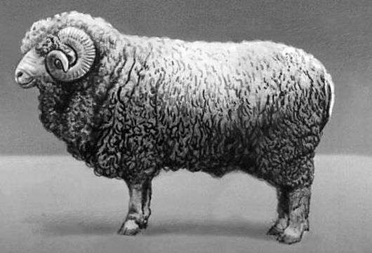 Грозненская порода овец