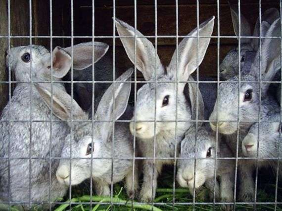 Бонитировка кроликов