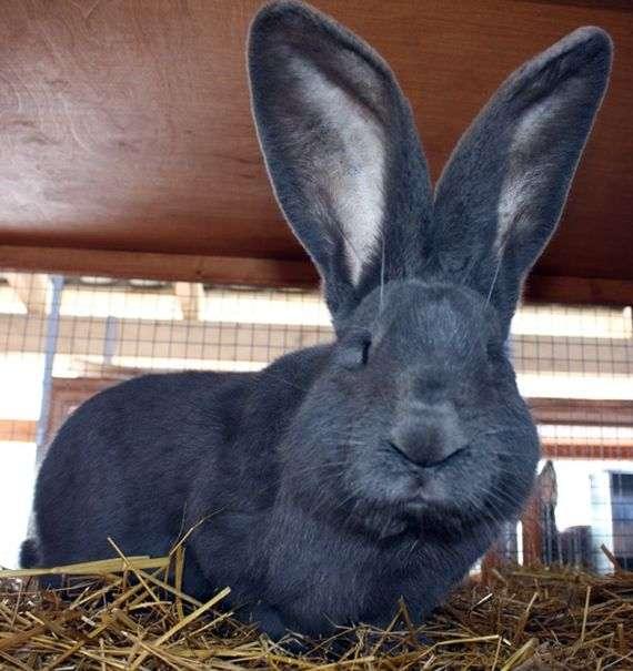 Кролик породы «Ризен»