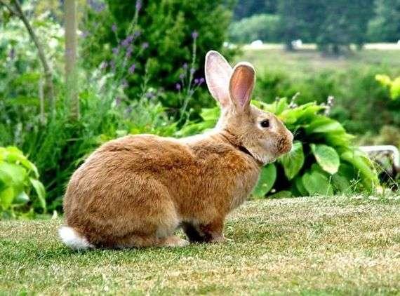 Кролики породы «Бельгийский фландр»