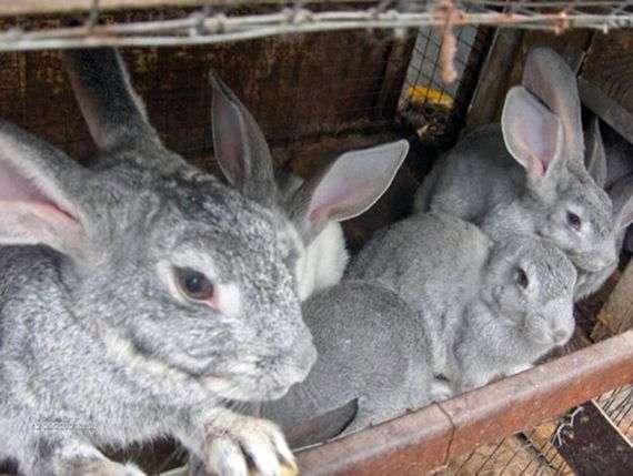 Кролики породы «Серый великан»