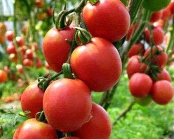 Сорт томатов «Де барао гигант»