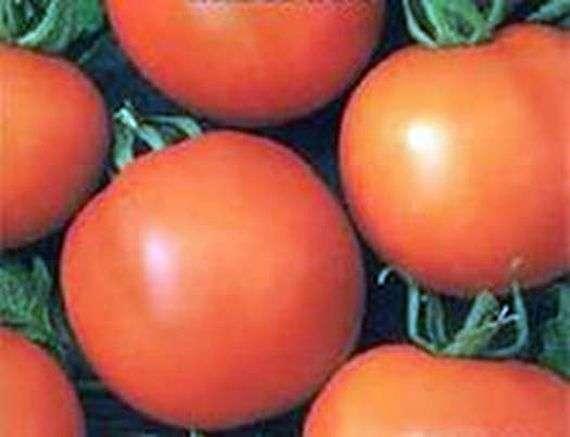 Сорт томатов «Жираф»