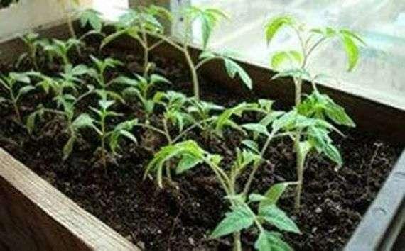 Срок высадки рассады томатов