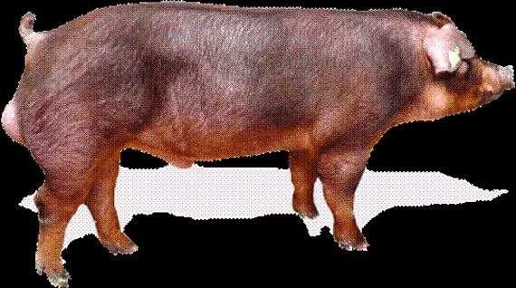 Породы свиней «Дюрок»