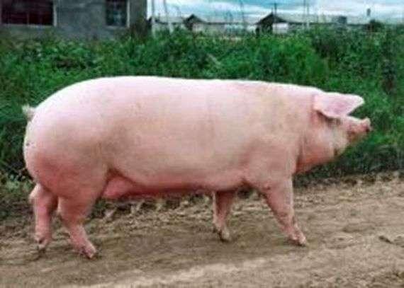 Порода свиней «Ландрас»