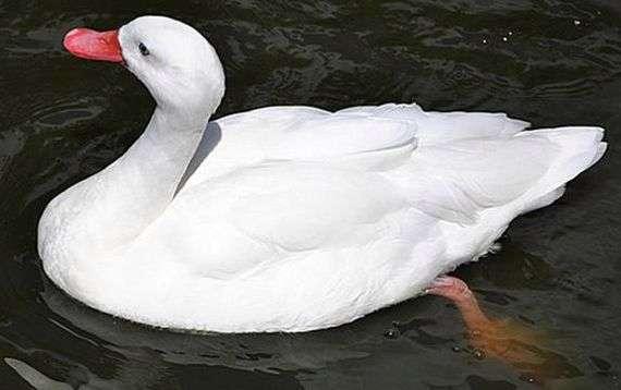 Московская белая порода уток