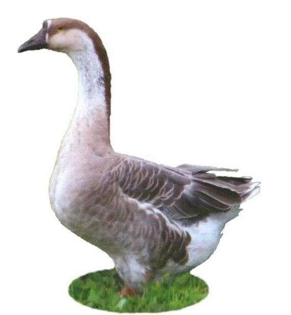 Переяславская порода гусей